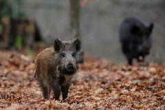 Wild boar in the forest. Autumn, sus scrofa Royalty Free Stock Photo