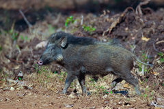 Wild boar in forest. Canon 6D 350mm ISO 600 1/2500 f4.0 Stock Photography