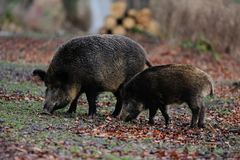 Wild boar in the forest, autumn. Wild boar in the forest, female with young boar, autumn sus scrofa Stock Image