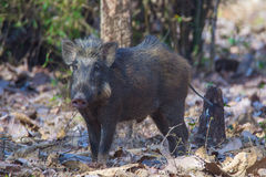 Wild boar in forest floor. Canon 6D 350mm ISO 600 1/2500 f4.0 Stock Image