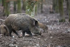 Wild Boar in the Forest. Germany Royalty Free Stock Image