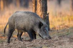Wild Boar a forest in Holland. Wild Boar in the evening light in a forest in Holland Royalty Free Stock Photo