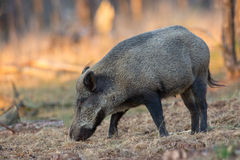 Wild Boar a forest in Holland. Stock Images