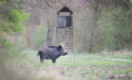 Wild boar in forest Stock Image