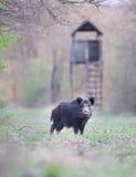 Wild boar in forest Stock Photo