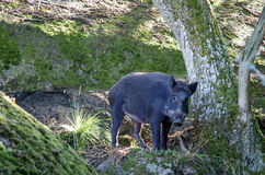 Wild boar in forest Royalty Free Stock Images