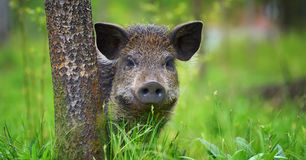 Wild boar on the forest. In summer time stock image