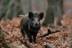 Wild boar in the forest. Sus scrofa Royalty Free Stock Photos