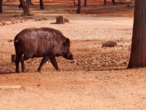 Wild boar in the forest Stock Photos