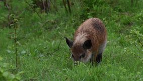 Wild boar on the forest stock video