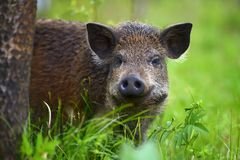 Wild boar on the forest. In summer time stock images