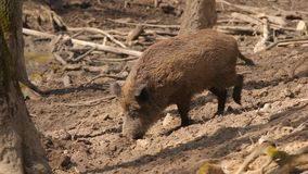 Wild boar in forest. Wild boar searching for food stock video footage