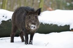 Wild boar in the forest, winter. Wild boar in the forest,  winter, sus scrofa Royalty Free Stock Photography