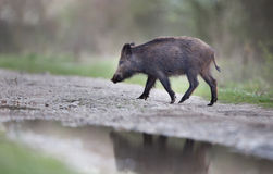 Wild boar in the forest Stock Image