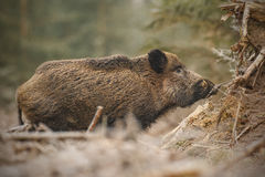 Wild boar in frosty forest Stock Photography