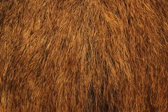 Wild boar fur Royalty Free Stock Photos