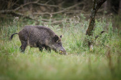 Wild boar in German orchard Royalty Free Stock Images