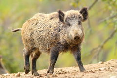 Wild boar in glade Royalty Free Stock Photography