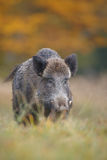 Wild boar in golden scene Stock Photos