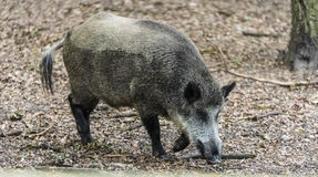 Wild Boar in Goluchow, Poland. Royalty Free Stock Image