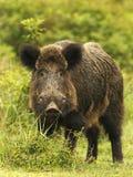 Wild boar in grass stock image