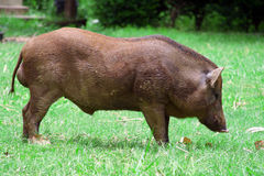Wild boar in grass Stock Images