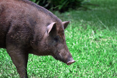 Wild boar in grass Royalty Free Stock Photo