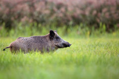 Wild boar in the grass Stock Photography