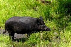 Wild boar in the grass-Stock photos Royalty Free Stock Photos