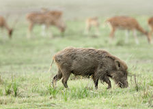 A wild boar grazing in Dhikala Royalty Free Stock Photo