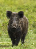 Wild boar with green background Stock Photo