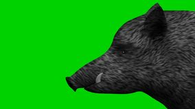 Wild boar on a green screen background animation stock illustration