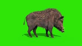Wild boar green screen eat side loop 3D rendering animation