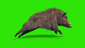 Wild boar green screen run cycle side loop 3D rendering animation