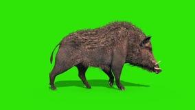 Wild boar green screen walk cycle side loop 3D rendering animation