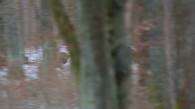 Wild boar group running on the forest stock video footage