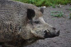 Wild boar-head Royalty Free Stock Photography