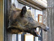Wild boar head Stock Photography