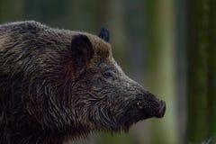Wild boar male head portrait. Wild boar head portrait, autumn, sus scrofa Royalty Free Stock Image