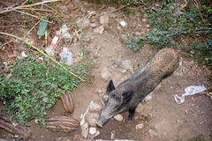 Wild boar with her little ones. Wild boar with her little ones looking for food and water Royalty Free Stock Photo