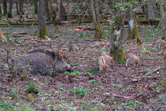 Wild boar with her piglets camouflaged Royalty Free Stock Photography