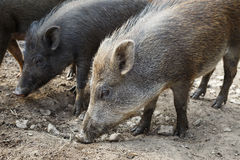 Wild boar herd Royalty Free Stock Photography
