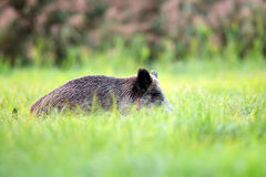 Wild boar hidden in the grass Royalty Free Stock Photo
