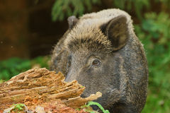 Wild boar hiding Royalty Free Stock Photos