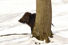 Wild boar hiding behind tree Stock Photo