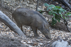 Wild boar. In Hong Kong Royalty Free Stock Images