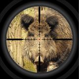 Wild boar hunt / shooting / cross-hair Royalty Free Stock Image