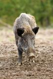 Wild boar at a hunting farm Stock Photo