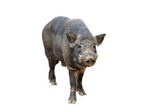 Wild boar isolated Royalty Free Stock Images