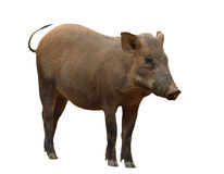 Wild boar isolated Royalty Free Stock Photo